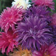 Aster Ostrich Plumed Formula mix - Paeony flowered - 1 - 50g